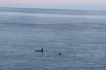 Orche nello Stretto di Messina, continua il monitoraggio ma ancora nessuna traccia