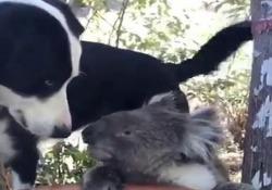 Australia: il cane condivide l'acqua con il koala assetato Il filmato è stato girato nel giardino di una casa ad Ashton, nell'Australia meridionale - CorriereTV