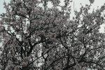 Mandorli a Caltanissetta, le foto della prima fioritura