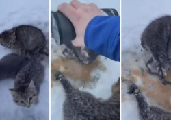Canada, gattini abbandonati e intrappolati nella neve: un uomo li «libera» con caffé caldo L'azione di un uomo di Alberta per salvare tre gattini che avevano la coda bloccata dal ghiaccio - Corriere Tv