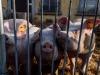 Carni introdotte nellUnione europea in violazione delle norme e potenzialmente contaminate