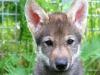 Uno dei cuccioli di lupo sui quali è stato condotto lesperimento (fonte: C. Hansen Wheat)