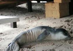 Il cucciolo ferito di foca monaca su una spiaggia in Puglia| Video  - Corriere Tv