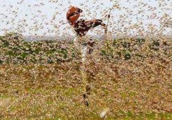 Invasione di locuste nell'Africa orientale: la più grave da 25 anni L'invasione rappresenta una minaccia senza precedenti per la sicurezza alimentare in alcuni dei paesi più vulnerabili del mondo, dicono le autorità - CorriereTV
