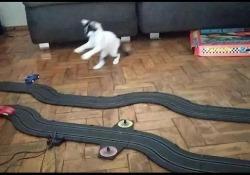 L'eccitazione del gattino davanti alle macchinine telecomandate è il video più bello di oggi La reazione dell'animale è dolcissima - CorriereTV