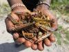 Uganda, locuste divorano raccolti diventando cibo alternativo