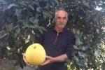Sant'Agata Militello, pompelmo da record raccolto in campagna: pesa 3 chili