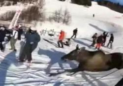 Lo slalom dell'alce tra gli sciatori Andava molto di fretta. La scena catturata in Svezia - CorriereTV