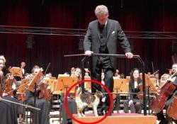 Un dolcissimo gatto ruba la scena durante il concerto di musica classica L'animale si è addirittura arrampicato sul podio del direttore dell'orchestra, attirando l'applauso del pubblico - CorriereTV