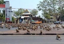 Effetto coronavirus: centinaia di scimmie affamate prendono d'assalto le strade vuote in Thailandia La scena ripresa nella città di Lopburi, nella Thailandia centrale: le scimmie si combattono attorno a una banana - Dalla Rete
