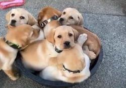 Un video dolcissimo, in queste giornate sospese Sei cuccioli di Labrador si accucciano in un secchiello per un pisolino - Dalla Rete