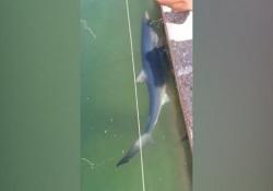 Argentario, uno squalo nelle acque di Marina di Cala Galera Uno spettacolo della natura - Ansa