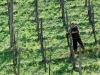 Coronavirus: #distantimauniti per spremitura Vino Santo Trentino Doc