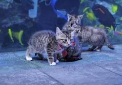 I gattini esplorano l'acquario: faccia a faccia con i  pesci tropicali Un gruppo di gattini dell'Atlanta Humane Society ha fatto visita all'acquario della Georgia, temporaneamente chiuso a causa dell'emergenza sanitaria - CorriereTV