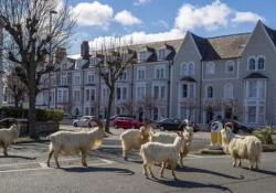 Il gregge di capre invade  la cittadina in Galles Il gregge è stato immortalato nelle stradine di Llandudno, un piccolo centro abitato della contea di Conwy, nel nord del Galles - Dalla Rete