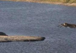 L'impala attaccato dal coccodrillo (che viene attaccato dall'ippopotamo) L'incredibile sequenza catturata nel parco nazionale Kruger, in Sudafrica - CorriereTV