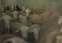 Ammassati e maltrattati, il viaggio di 250.000 agnelli verso l'Arabia Saudita Le immagini di una videoinvestigazione di Animal Equality. Gli animali viaggiano in condizioni precarie per 10 giorni per arrivare al luogo del loro sacrificio  - Corriere Tv