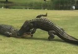 La impressionante lotta tra  due alligatori alla buca 18 L'incredibile scena sul campo da golf dell'Hilton Head Lakes a Hardeeville, negli Usa - CorriereTV