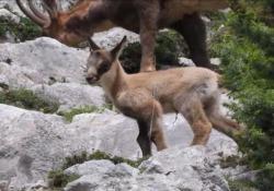 Nuovi arrivi al Parco della Majella, due piccoli camosci sorpresi a saltellare tra le rocce Sono nati nell'area faunistica di Lama dei Peligni - Ansa