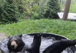 Questo orso nero  adora fare il bagno: il video è adorabile «Takado» è ospitato da dieci anni nello zoo dell'Oregon - CorriereTV