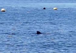 Spagna: uno squalo di 4 metri vicino alla costa La causa dell'avvicinamento alla costa è il lockdown delle settimane scorse - CorriereTV