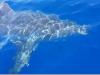 Lampedusa, avvistato un esemplare di squalo bianco di circa 5 metri: il video