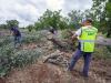 Xylella: Arif, 50 alberi infetti in Piana ulivi monumentali