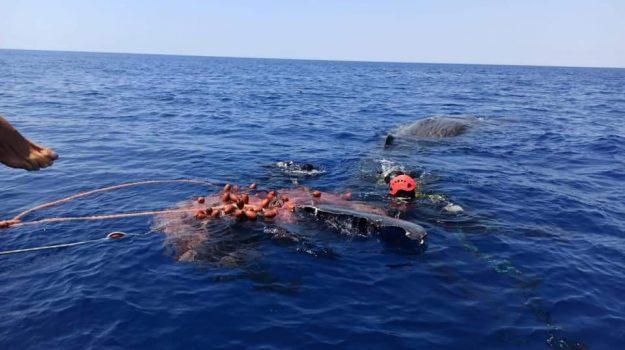 Capodoglio intrappolato in una rete da pesca illegale: salvato al largo di Lipari
