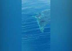 Diavolo di mare avvistato in Campania, l'apparizione nell'area protetta di Punta Campanella Il pesce nuotava nell'area protetta di Punta Campanella - Ansa