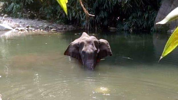 Elefante incinta uccisa con un frutto esplosivo, un arresto in India
