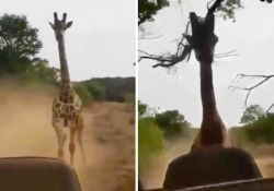 La giraffa (infastidita) insegue il fuoristrada con i turisti Un gruppo di turisti ha sudato freddo durante un safari in Africa - CorriereTV