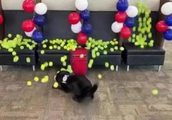 La sorpresa al cane anti terrorismo nel suo ultimo giorno di lavoro Oltre 200 palle da tennis spuntano dal nulla all'aeroporto di Indianapolis, Usa - CorriereTV
