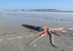 «Mostro degli abissi»: in Sud Africa trovato un calamaro gigante di 4 metri La creatura marina di circa 2 quintali di peso spiaggiata nell'area di Britanniabaai - CorriereTV