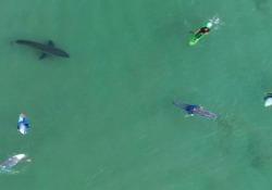 Un grande squalo bianco nuota in mezzo ai surfisti (ignari del pericolo) Il video dell'incontro ravvicinato girato da un drone a Plettenberg Bay, in Sudafrica - CorriereTV