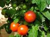 Un gene rende più longeve le piante di pomodoro (fonte: Pixabay)