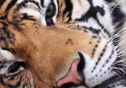 Abbiamo rischiato un futuro senza tigri Dieci anni fa il numero complessivo di esemplari ha toccato il minimo storico e il pericolo di estinzione era concreto . Progetti di salvaguardia come quello del Wwf hanno invertito la tendenza - Corriere Tv