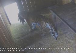 Bussolengo, nati tre tigrotti siberiani al parco Natura Viva: non succedeva in Italia dal 2004 In Italia non nascevano dal 2004. In natura ne rimangono solo 500 - Ansa