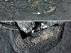L'intestino fossilizzato del Mixosaurus (fonte: Silvio Renesto)