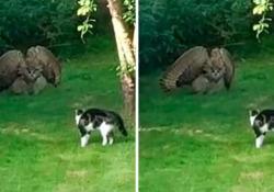 Il video di un gufo che cerca di spaventare un gatto La breve clip è stata cliccata migliaia di volte - CorriereTV