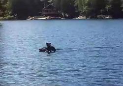 L'orsetto «surfa» nel lago sulla testa della madre Il dolcissimo video dal Canada - CorriereTV