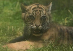 Polonia, un cucciolo di tigre di Sumatra è nato nello zoo di Breslavia: è una specie in via di estinzione Si tratta di una femmina, venuta alla luce durante il lockdown - Ansa