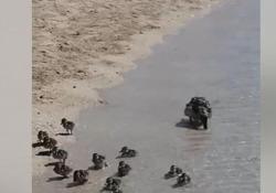 Salento, mamma papera e i suoi pulcini sulla spiaggia La scena ripresa domenica a Torre Lapillo, in provincia di Lecce - Corriere Tv