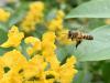 Tutela api e biodiversità, in Abruzzo il Bee Natural Festival  (fonte: Pixabay)