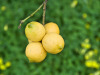 Da scarti limone integratori contro rischio cardio-vascolare