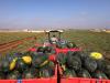 Coldiretti Puglia pratiche sleali, crollano prezzi angurie