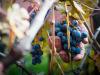 Vino: nasce Vivito, più grande realtà cooperativa Toscana