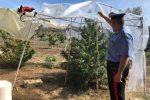 Melilli, scoperta piantagione di canapa nei boschi: oltre 100 piante abbandonate