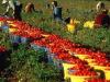 Dl Sostegni: Patuanelli, ci sarà il bonus per i braccianti agricoli