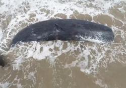 Argentina, capodoglio di 15 metri si arena sulla spiaggia: in molti provano a salvarlo, ma senza esito Il cetaceo è stato trovato da alcune persone che hanno fatto di tutto per salvarlo - Ansa