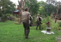 Berlino, festa allo zoo: i panda gemelli compiono un anno I due animali star della struttura celebrati con una torta - LaPresse/AP